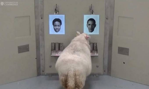Domba Bisa Mengenali Wajah Selebriti Seperti Obama - JPNN.COM