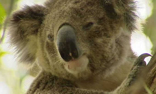 Koala Jadi Korban Kebakaran Hutan dan Gelombang Panas di Australia - JPNN.COM