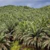Hasil gambar untuk perkebunan kelapa sawit