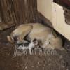 Aneh Anjing Beranak Kucing Daerah Jpnn Com
