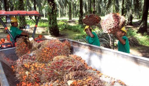 Produksi Minyak Kelapa Sawit Capai 42 Juta Ton - JPNN.COM