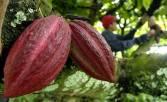 Indonesia sebagai Produsen Kakao Dunia Bukan Cuma Mimpi - JPNN.COM