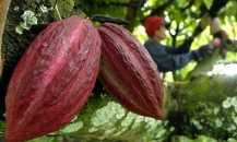 Indonesia sebagai Produsen Kakao Dunia Bukan Cuma Mimpi