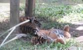 Harimau Sumatera Kembali Meneror Warga Kerinci - JPNN.COM