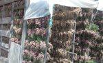 Petani Bawang Merah Solok Menjerit, Bulog Cuek - JPNN.COM