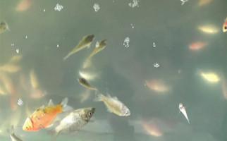 Ratusan Ikan Hias Mati, Pedagang Minta PLN Beri Kompensasi - JPNN.com