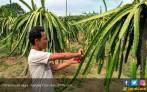 Hasil Riset: Batang Buah Naga Bikin Sapi Cepat Gemuk - JPNN.COM