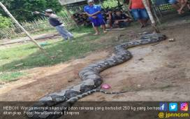 Ular Piton Raksasa Seberat 250 Kg Hebohkan Warga PALI - JPNN.COM
