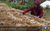 Geliat Pertumbuhan Bawang Putih di Wilayah Sumedang - JPNN.COM