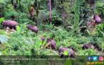 Belasan Gajah Liar Duduki Perkebunan Warga di Suoh - JPNN.COM