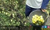 Harga Tomat Anjlok, Petani Pilih Bongkar Lahan - JPNN.COM