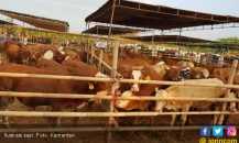 Lampung Utara Target Asuransikan 750 Sapi Betina