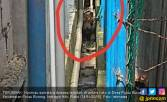 Harimau Terjebak di Ruko Bikin Geger Warga Indragiri Hilir - JPNN.COM