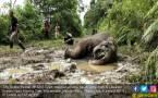 Seekor Gajah Dibunuh di Meureudu, Dua Gadingnya Lenyap - JPNN.COM