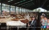 Kementan Salurkan 1.430 Ekor Sapi Indukan ke Daerah Sumatera - JPNN.COM