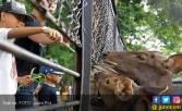 Asyik, Feeding Time di KBS Ditambah - JPNN.COM