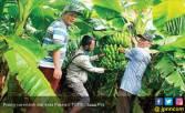 Panen Raya Pisang Cavendish dari Desa Pasinan - JPNN.COM