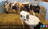 Indonesia Miliki Masa Depan Swasembada Daging Melalui Belgian Blue - JPNN.COM