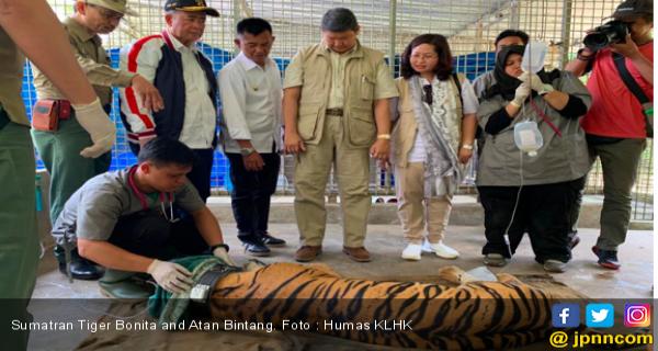 promo code 97dee 5b8f9 Returning Sumatran Tiger Bonita and Atan Bintang to Their ...