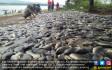 Ribuan Ikan Milik Petani Mati Mendadak - JPNN.COM