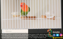 Event Balikpapan Lovebird Community - JPNN.COM