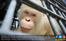 Alba, Orangutan Albino Dilepasliarkan - JPNN.COM