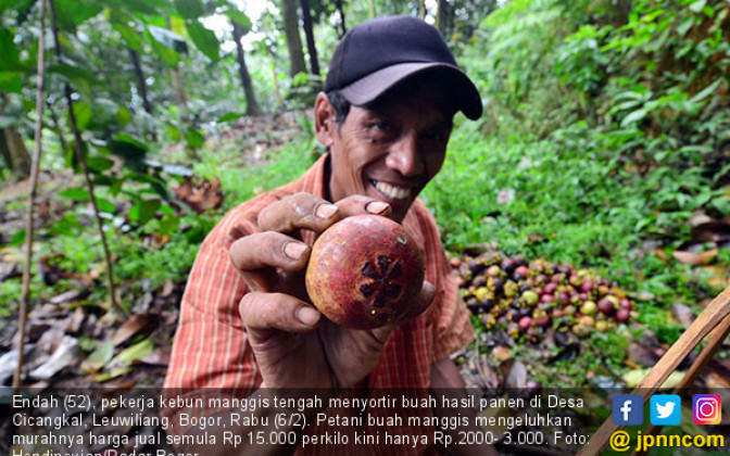 Petani Manggis Keluhkan Rendahnya Harga Jual - JPNN.COM