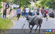 Ngamuk, Kerbau Kurban Lari ke Jalan - JPNN.COM