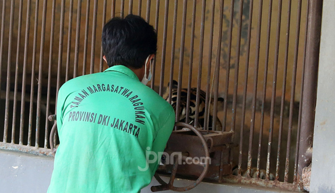 Petugas saat melakukan swab test Covid-19 kepada harimau di Taman Margasatwa Ragunan, Jakarta, Senin (2/8), guna mengetahui perkembangan kesehatan Harimau Sumatera yang terpapar (Covid-19, red). Foto: Ricardo - JPNN.com