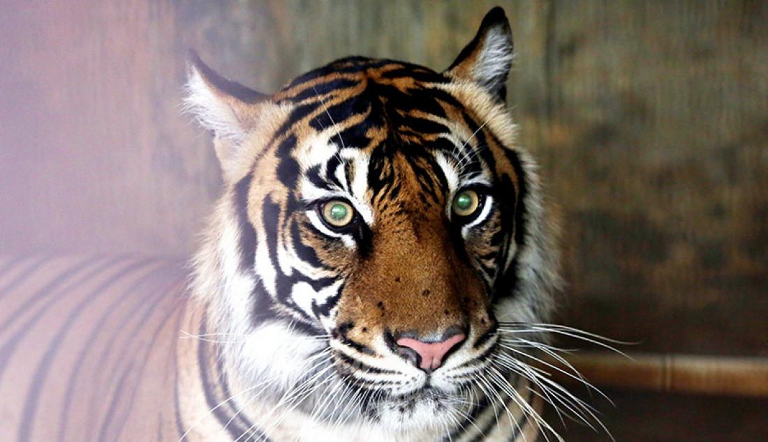 Harimau Sumatera di Taman Margasatwa Ragunan, Jakarta, Senin (2/8). Petugas terus melakukan pemantauan terhadap harimau yang terpapar (Covid-19, red). Foto: Ricardo - JPNN.com