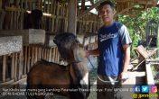 Bisnis Pejantan Tangguh, Tarif Cukup Rp 60 Ribu - JPNN.COM