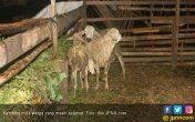 Disiapkan Disembelih untuk Selamatan, 2 Domba Mati Misterius - JPNN.COM