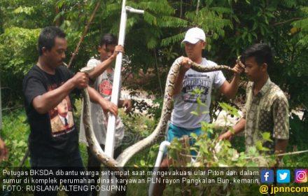 Pawang Ular Menyerah Hadapi Piton 2,5 Meter - JPNN.COM