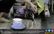 Disembelih Pekan Lalu, Ayam Ini Masih Berdiri Kokoh, Heboh! - JPNN.COM