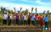 Gabah Melimpah, Petani Semringah - JPNN.COM
