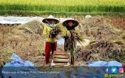 Petani di Serang Selamat dari Gagal Panen - JPNN.COM