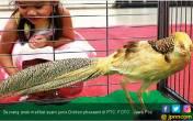 Ayam Pegunungan Tiongkok, Liar tapi Mempesona - JPNN.COM