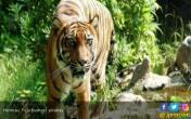 Harimau Sumatera Kembali Masuk Permukiman di Muara Emat - JPNN.COM