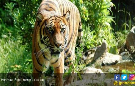 Sembilan Harimau Masuk Pemukiman, Warga Nagan Raya Heboh - JPNN.COM