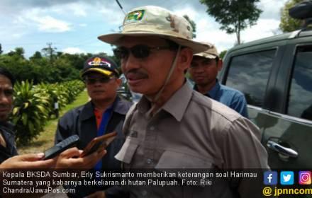 Hati-Hati! 2 Harimau Sumatera Berkeliaran di Palupuah - JPNN.COM