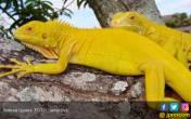 Wow, Harga Iguana Albino Bisa Sampai Rp 50 Juta - JPNN.COM