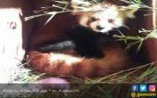 Selamat, Ini Kelahiran Panda Merah Pertama di Indonesia - JPNN.COM