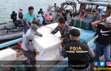 KKP Kembali Gagalkan Penyelundupan 304.354 Benih Lobster di Batam - JPNN.COM